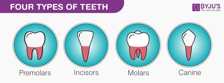4 loại răng