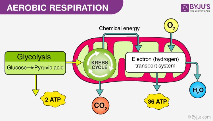 Hô hấp hiếu khí