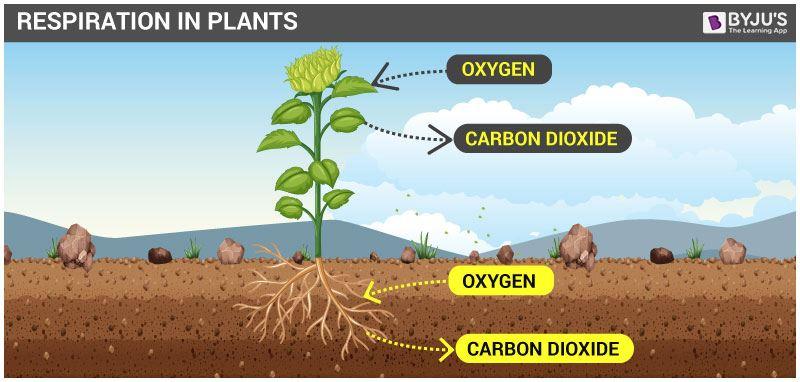 Hô hấp ở thực vật